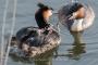 Fuetterung-Haubentaucher-Brut-Nest-Paar-Junge-Brutgeschaeft-Steinhude-Steinhuder Meer-A_NIK500_0516