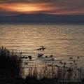 Landschaftsfotos-Naturfotos-Graureiher-Fischreiher-kaempfende-streitende-Rivalen-Kampf-Ostenmeer-Steinhuder Meer-Naturpark-Landschaft-A_NIK2530a-1