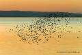 Landschaftsfotos-Naturfotos-Schwarm-Vogelschwarm-Stare-fliegender-Abendrot-Abendstimmung-Ostenmeer-Steinhuder Meer-Naturpark-Landschaft-BXO1I2574-1
