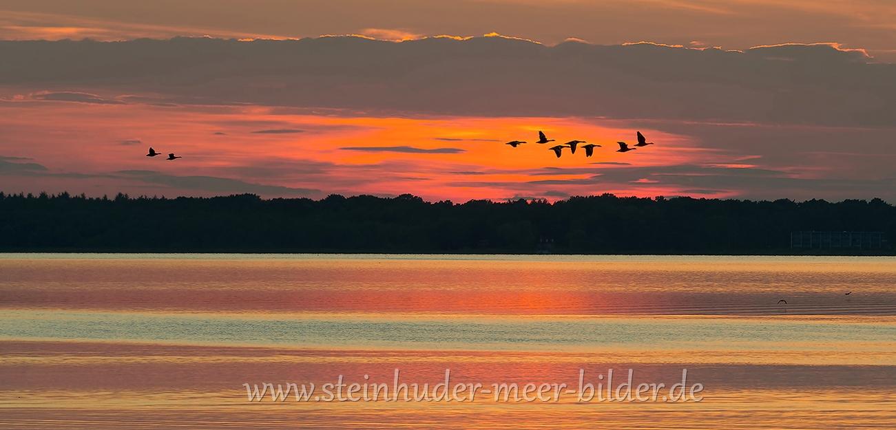 2-fliegende-Graugaense-Silhouette-Abendrot-Sonnenuntergang-Steinhuder-Meer-Panorama-A_NIK500_3806a