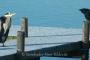 Kraehe-Rabe-Graureiher-Fischreiher-Steinhuder Meer-Tierfotos-Voegel-Wasservoegel-RX_00555