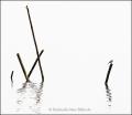 Landschaftsfotos-Naturfotos-Tierfotos-Bachstelze-Steinhuder Meer-Naturpark-Reuse-Steinhuder-Meer-2_DSC7019