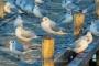 Moewen-Lachmoewen-Steinhuder Meer-Tierfotos-Voegel-Wasservoegel-RX_00288
