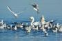 Schwan-Moewen-Lachmoewen-Steinhuder Meer-Tierfotos-Voegel-Wasservoegel-RX_00577