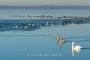 Schwan-Schwaene-Steinhuder Meer-Tierfotos-Voegel-Wasservoegel-RX_00794
