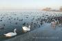 schwaene-enten-winter-bilder-landschaften-steinhuder-meer-fotos-BXO1I4694