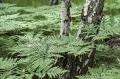 Landschaftsfotos-Naturfotos-Birken-Farn-Totes-Moor-Steinhuder Meer-Naturpark-A-Sony_DSC0396-1