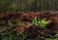 Landschaftsfotos-Naturfotos-Farn-Totes-Moor-Steinhuder Meer-Naturpark-A_NIK1775-1