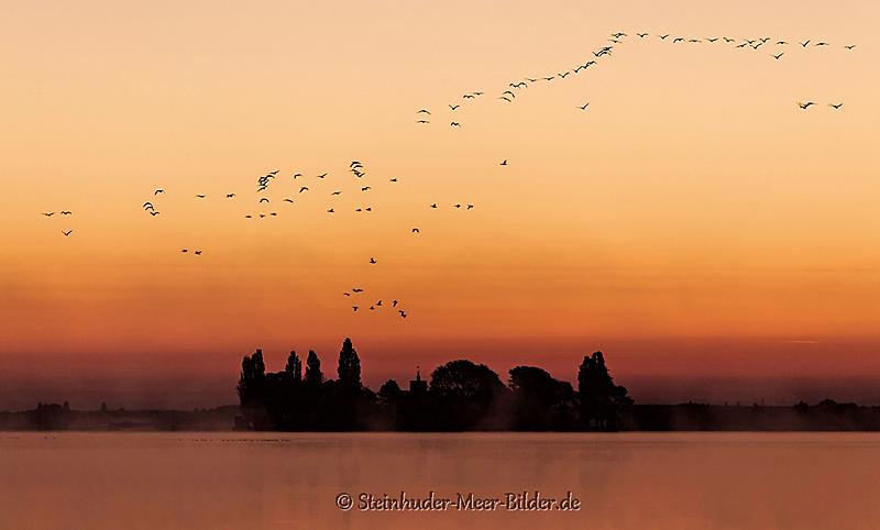 Landschaftsfotos-Naturfotos-Gaense-Graugaense-fliegende-Voegel-Wasservoegel-Morgenrot-Morgenstimmung-Westenmeer-Winzlar-Steinhuder Meer-Naturpark-I_MG_2139-1