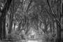 dark-hedges-giants-paar-silhouette-nebel-dunst-causeway-allee-maerchenwald-mystische-baeume-Irland-A_NIK4626sw