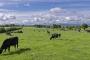 landschaft-Irland-Kuehe-Rinder-Weide-Panorama-A_SAM5209