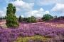 landschaft-Lueneburger-Heide-Bluete-Wacholder-Niedersachsen-AXO1I5992