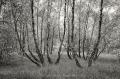 Landschaftsfotos-Naturfotos-Birken-Wald-Totes-Moor-Schwarz-Weiss-Steinhuder Meer-Naturpark-A-Sony_DSC0391sw