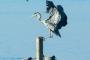 graureiher-vogel-voegel--winter-steinhuder-meer-eis-schnee-zugefroren-eisdecke-naturpark-naturraum-region-RX_00522