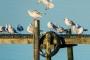 moewen-vogel-voegel--winter-steinhuder-meer-eis-schnee-zugefroren-eisdecke-naturpark-naturraum-region-RX_00308a